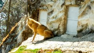 Himalayan Wolf