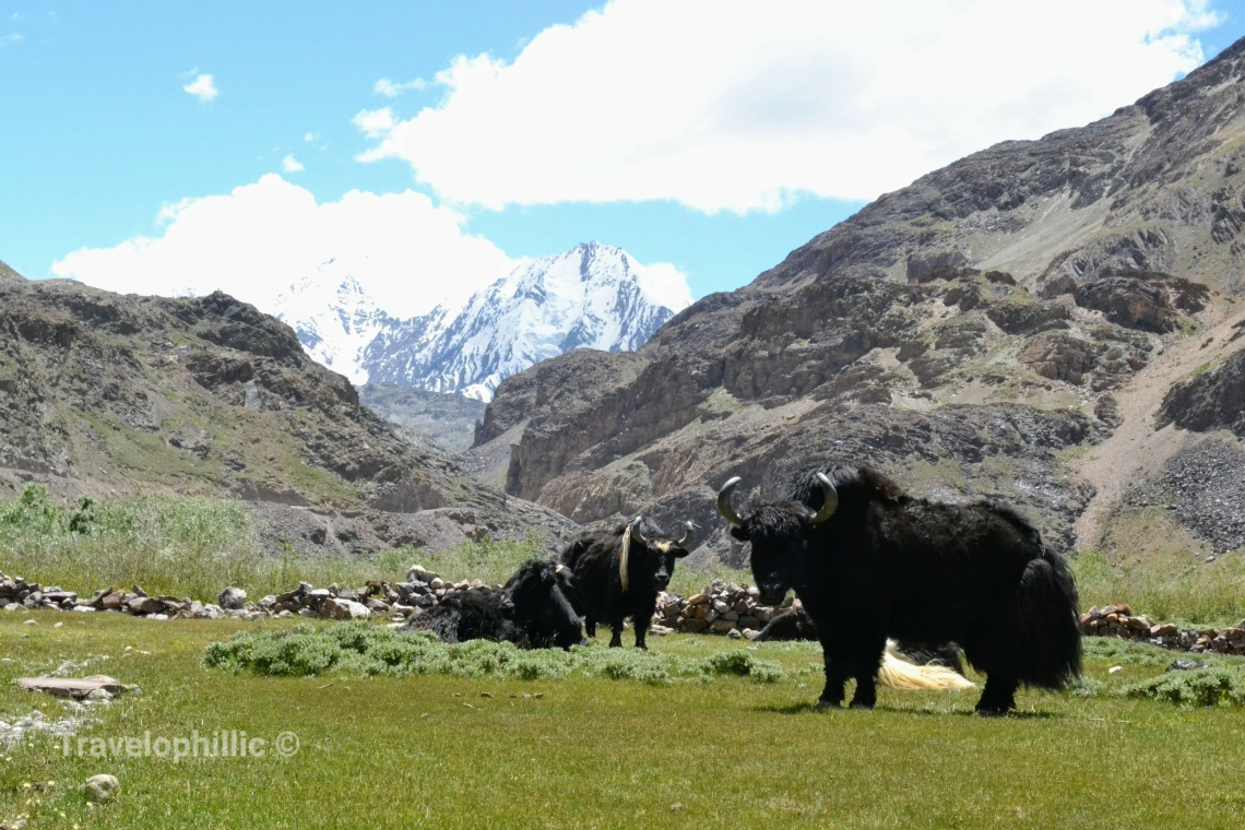 Yaks in Spiti Valley