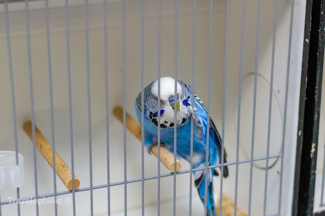 A blue budgerigar in cage